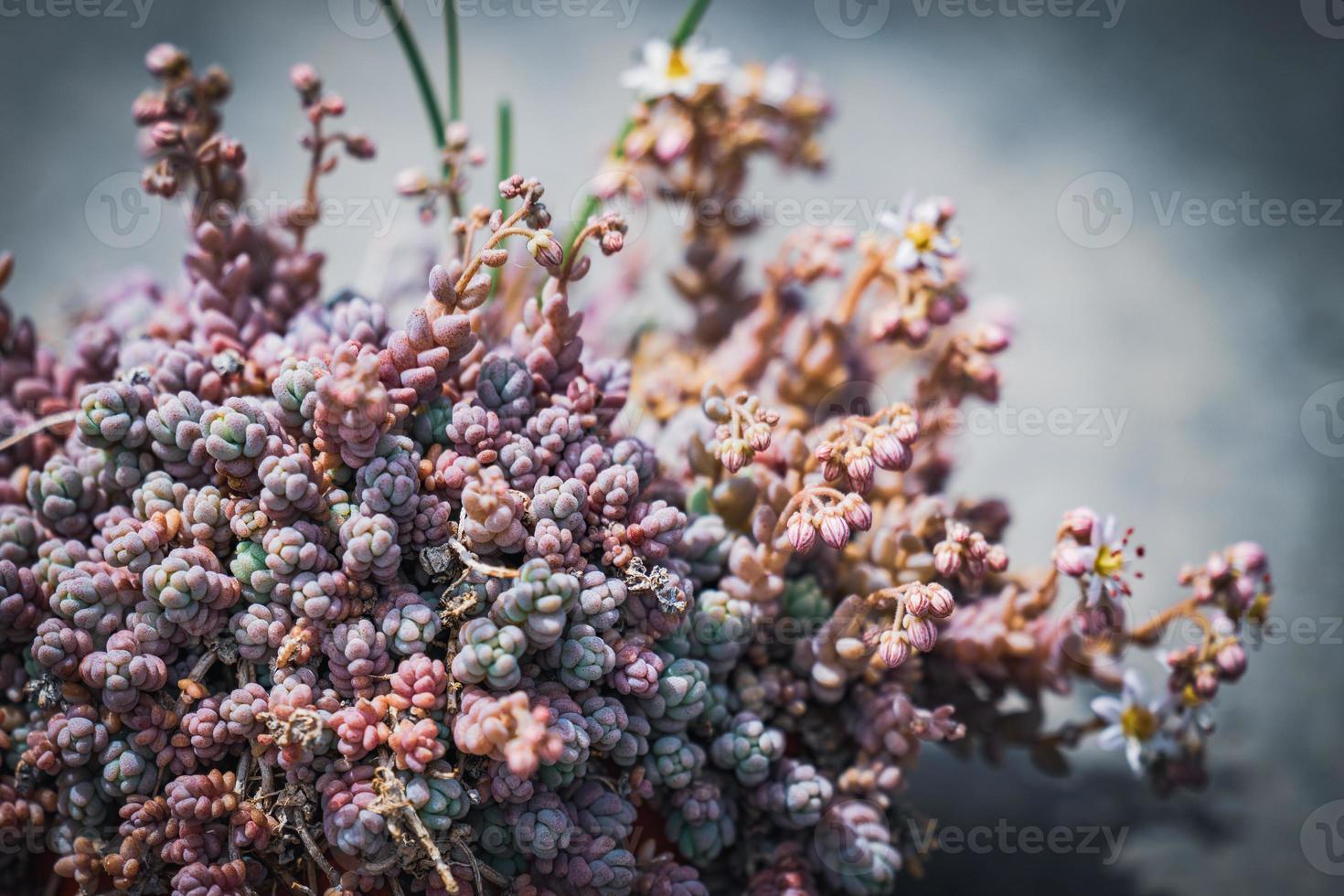 pequeña planta con flores de corso stonecrop foto