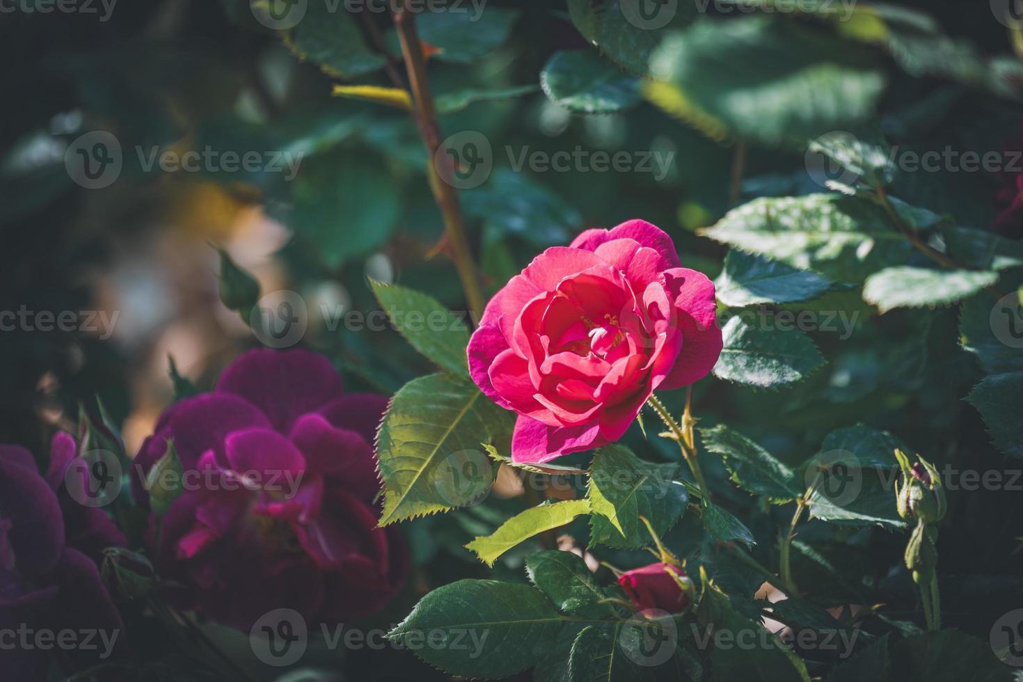 rosa rosa en flor foto