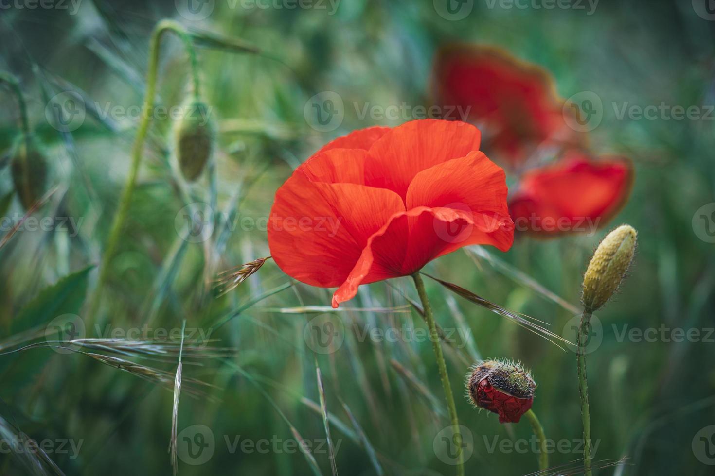 flor de amapola roja entre espigas de trigo verde foto