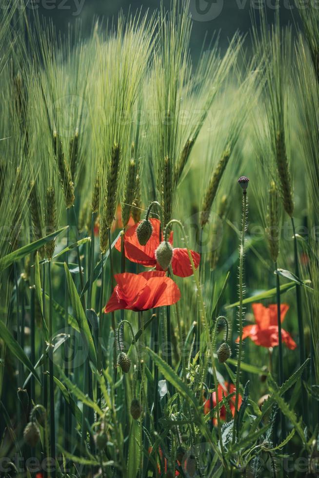 amapolas entre espigas de trigo verde foto