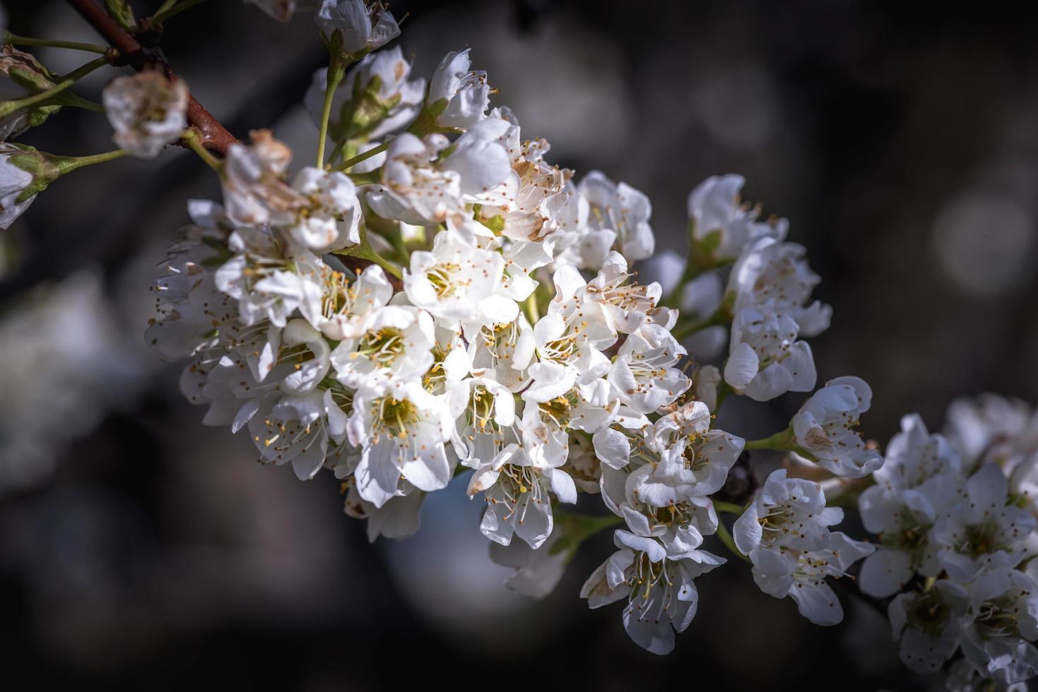 rama de árbol frutal floreciente foto