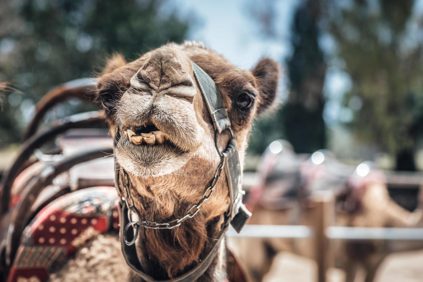 primer plano de la cara de un camello foto