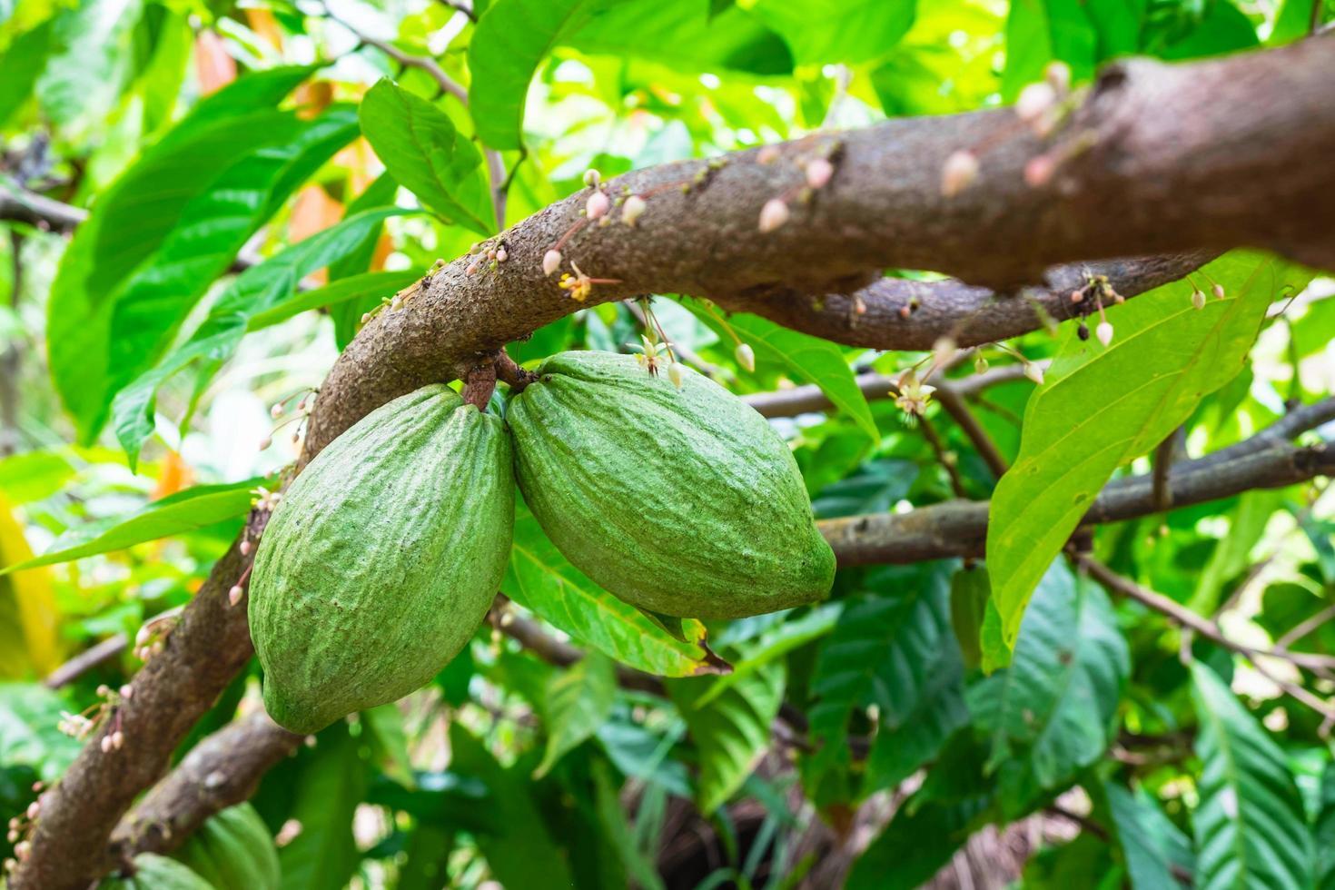 fruta de cacao en una rama de árbol foto