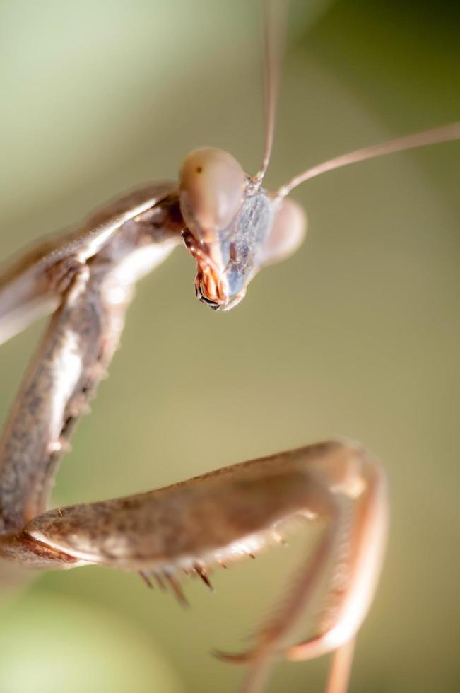 primer plano de la mantis religiosa foto