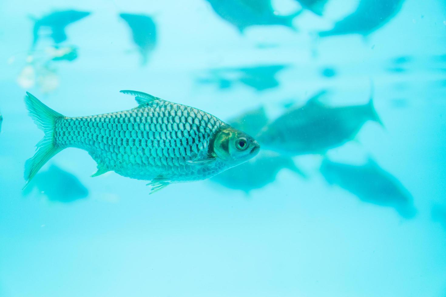 Thai carp fish in blue water photo