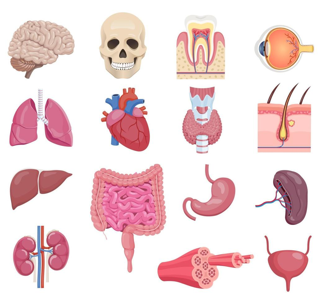 Internal human anatomy organ icon set. Vector illustrations.
