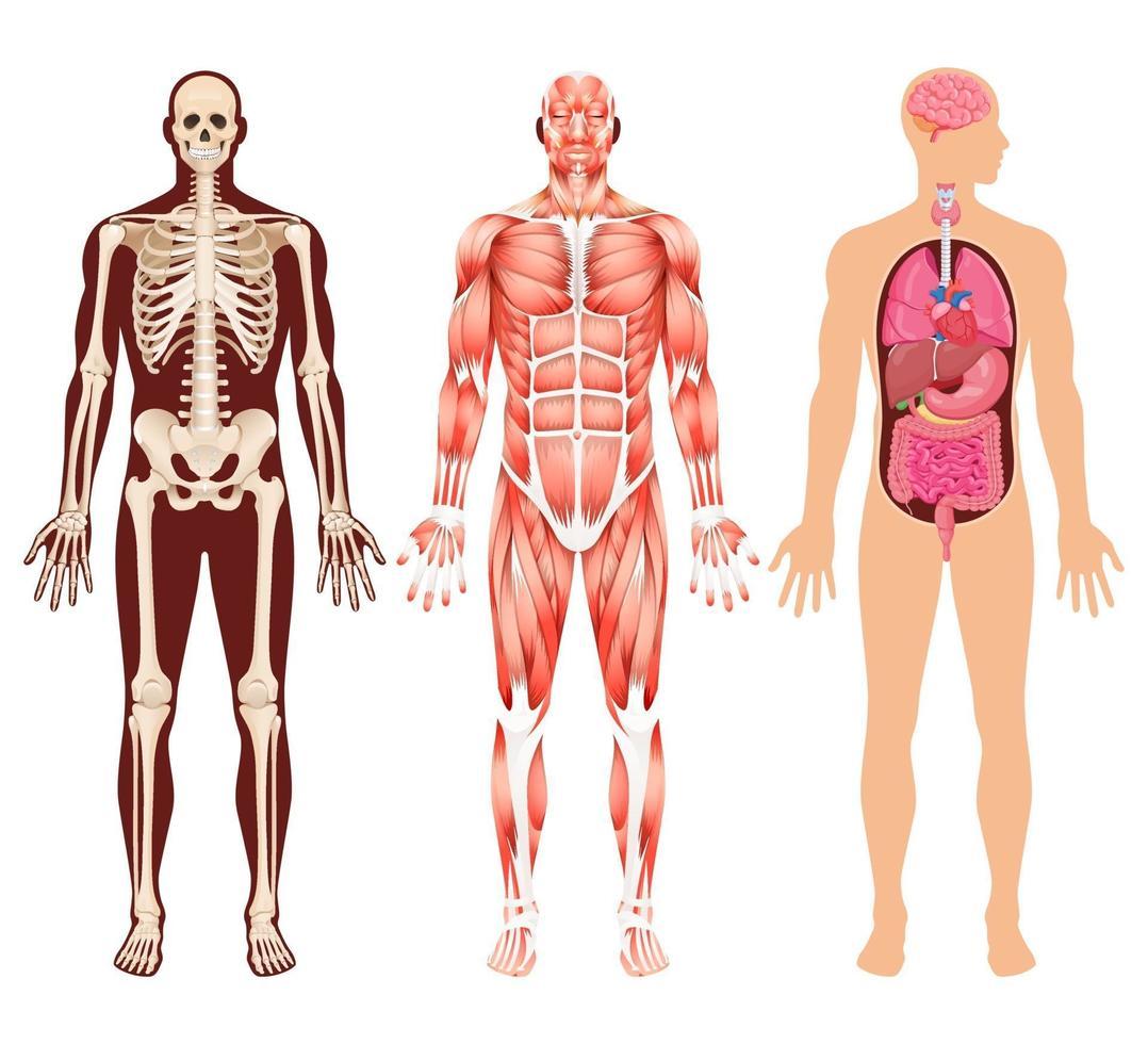 esqueleto de órganos humanos y ilustraciones vectoriales del sistema muscular. vector