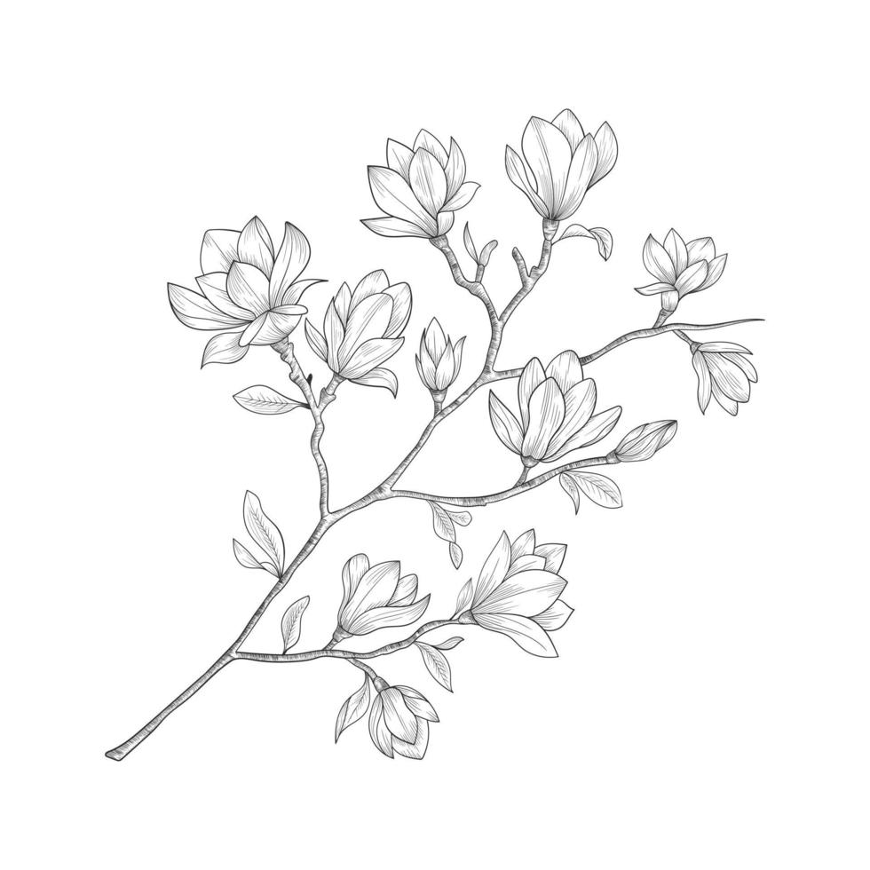 Hand drawn magnolia flowers and leaves drawing isolated on white background. vector