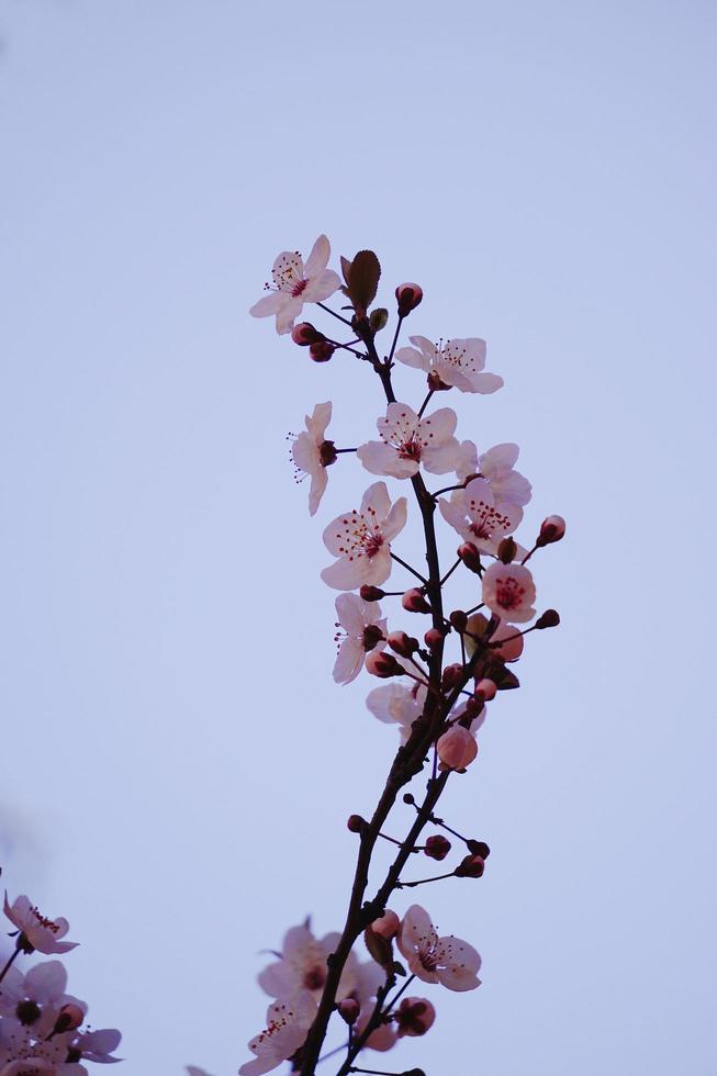 flor de cerezo flor de sakura en la temporada de primavera foto