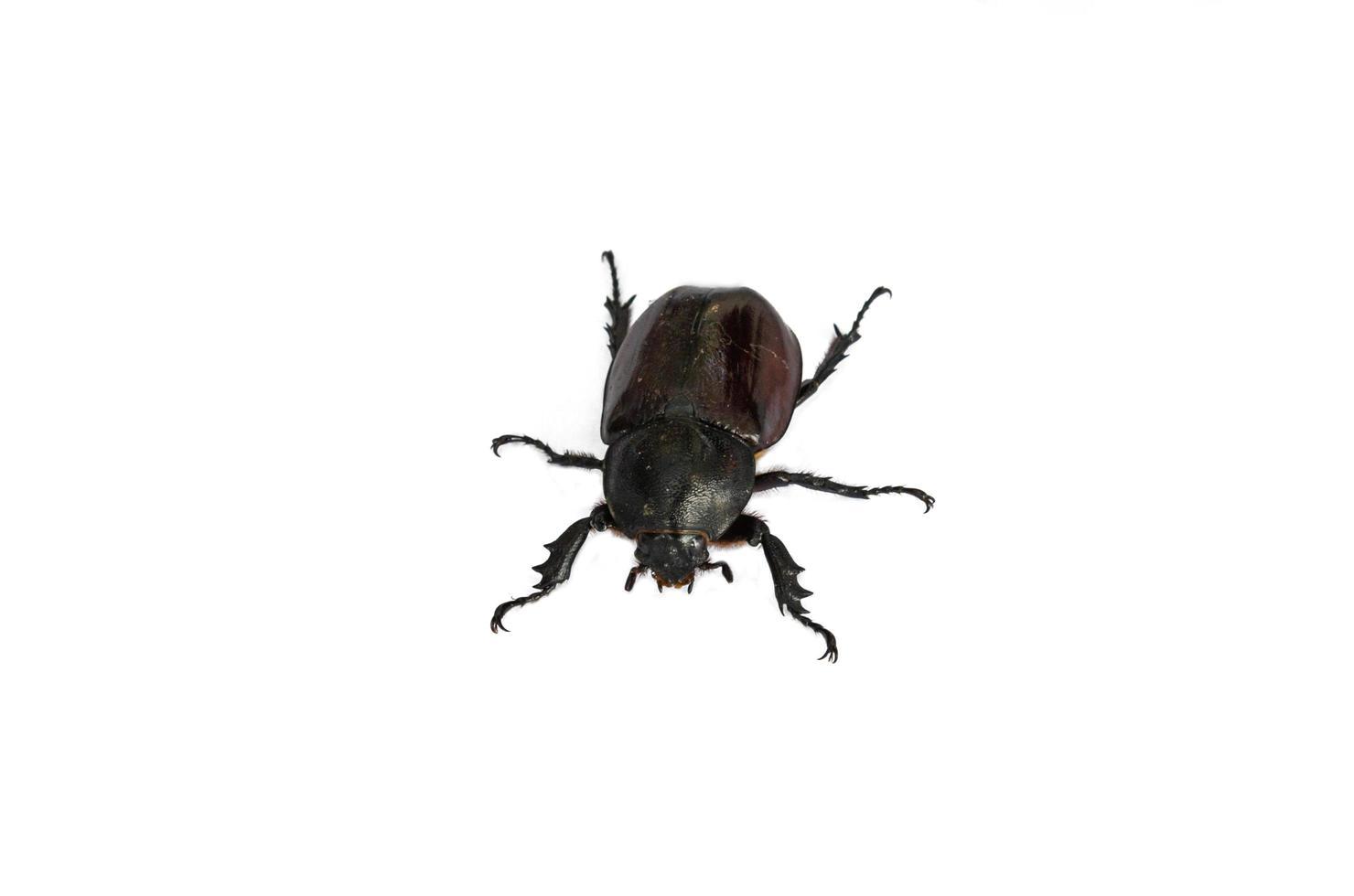 escarabajo sobre un fondo blanco foto