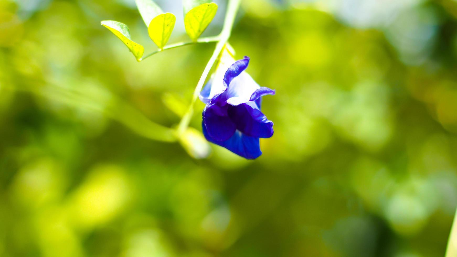 ala de paloma bluebellvine flor de guisante azul foto