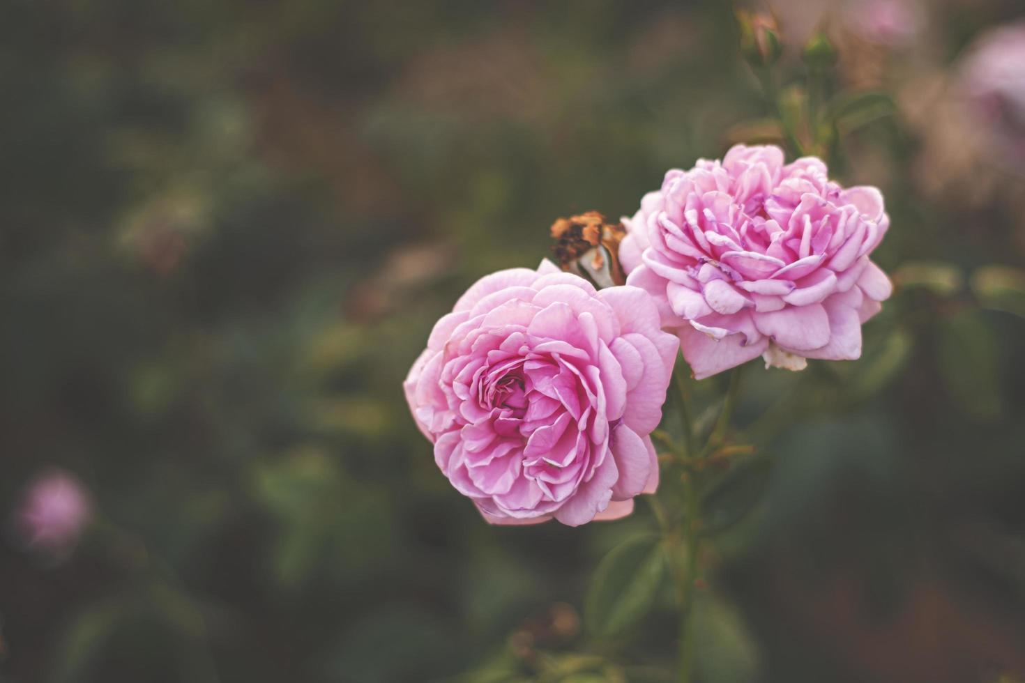 Rosa rosa en el jardín, luz brillante del atardecer, fondo floral foto
