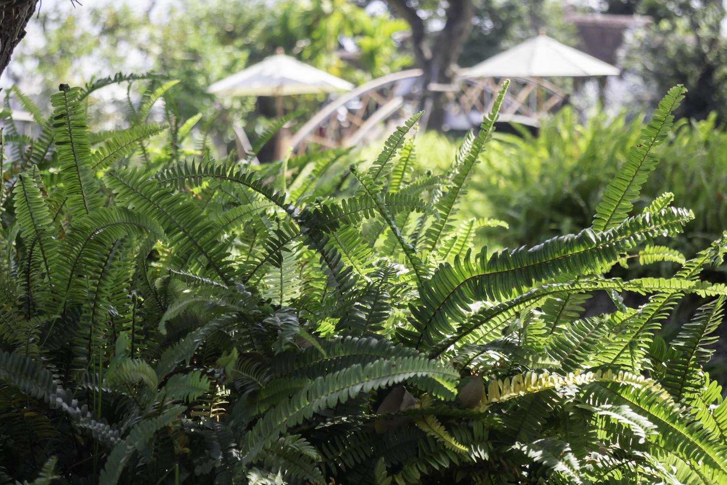 helechos verdes en un jardín en verano foto