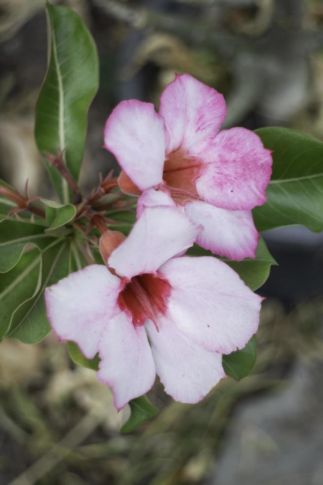 flores rosas y blancas foto