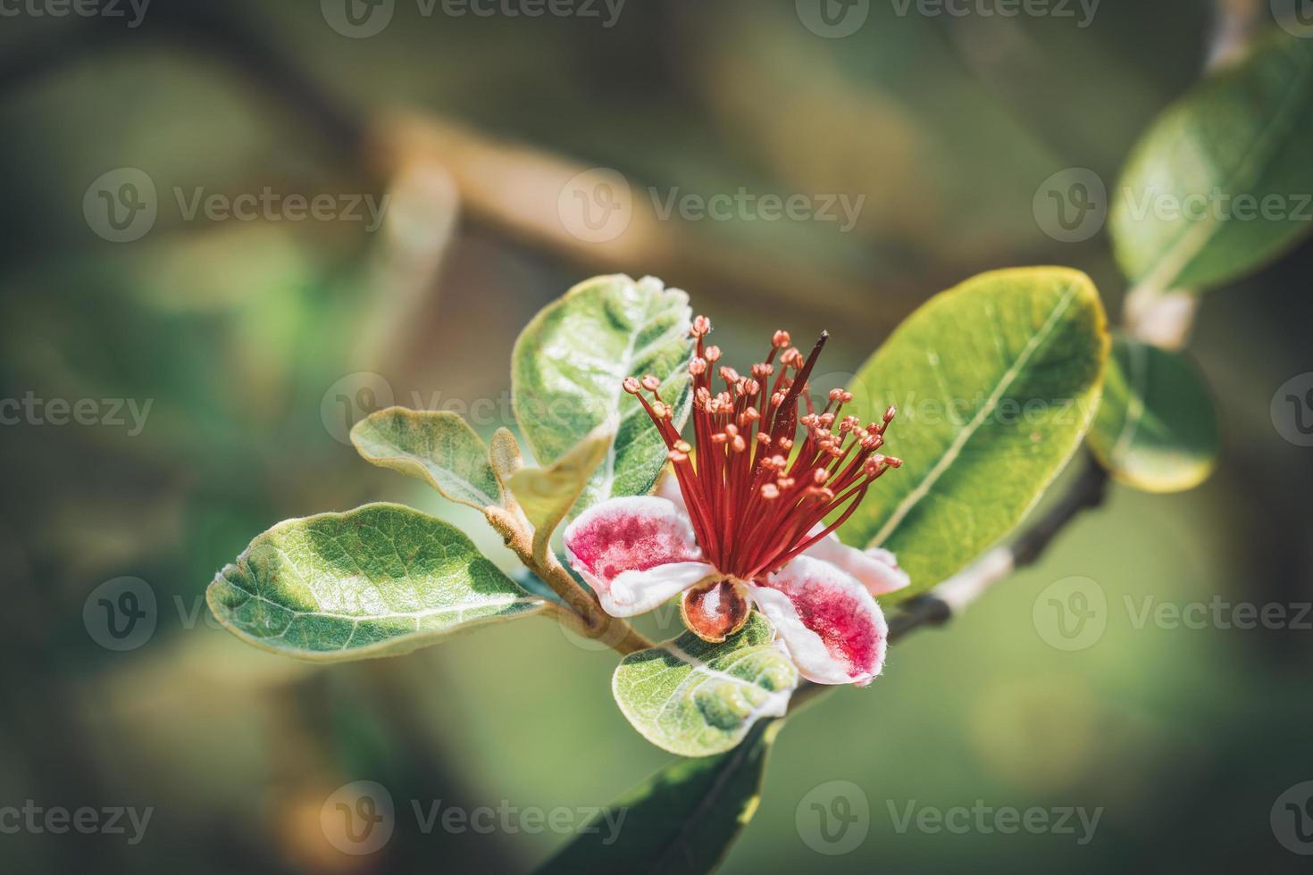 exótica flor roja de piña guayaba foto