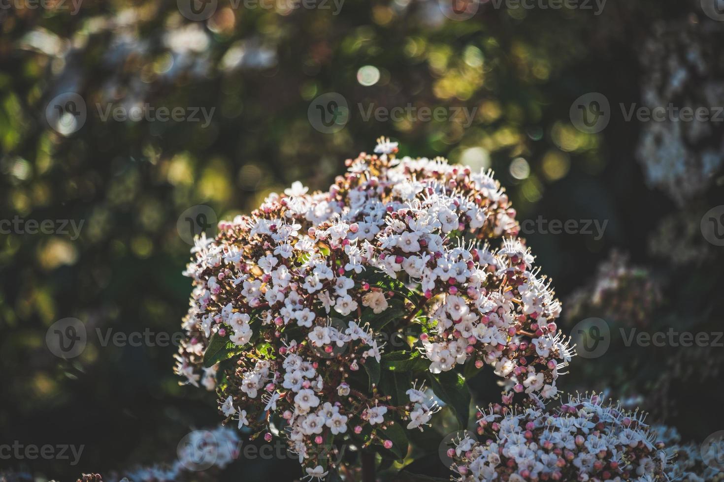 flores y capullos de un arbusto viburnum tinus foto