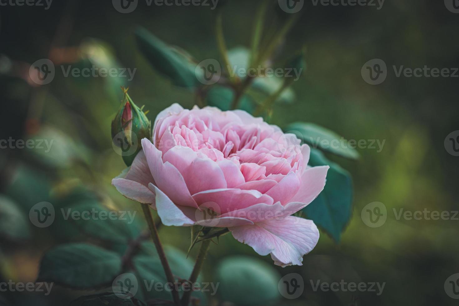 Rosa claro y capullos en un jardín. foto