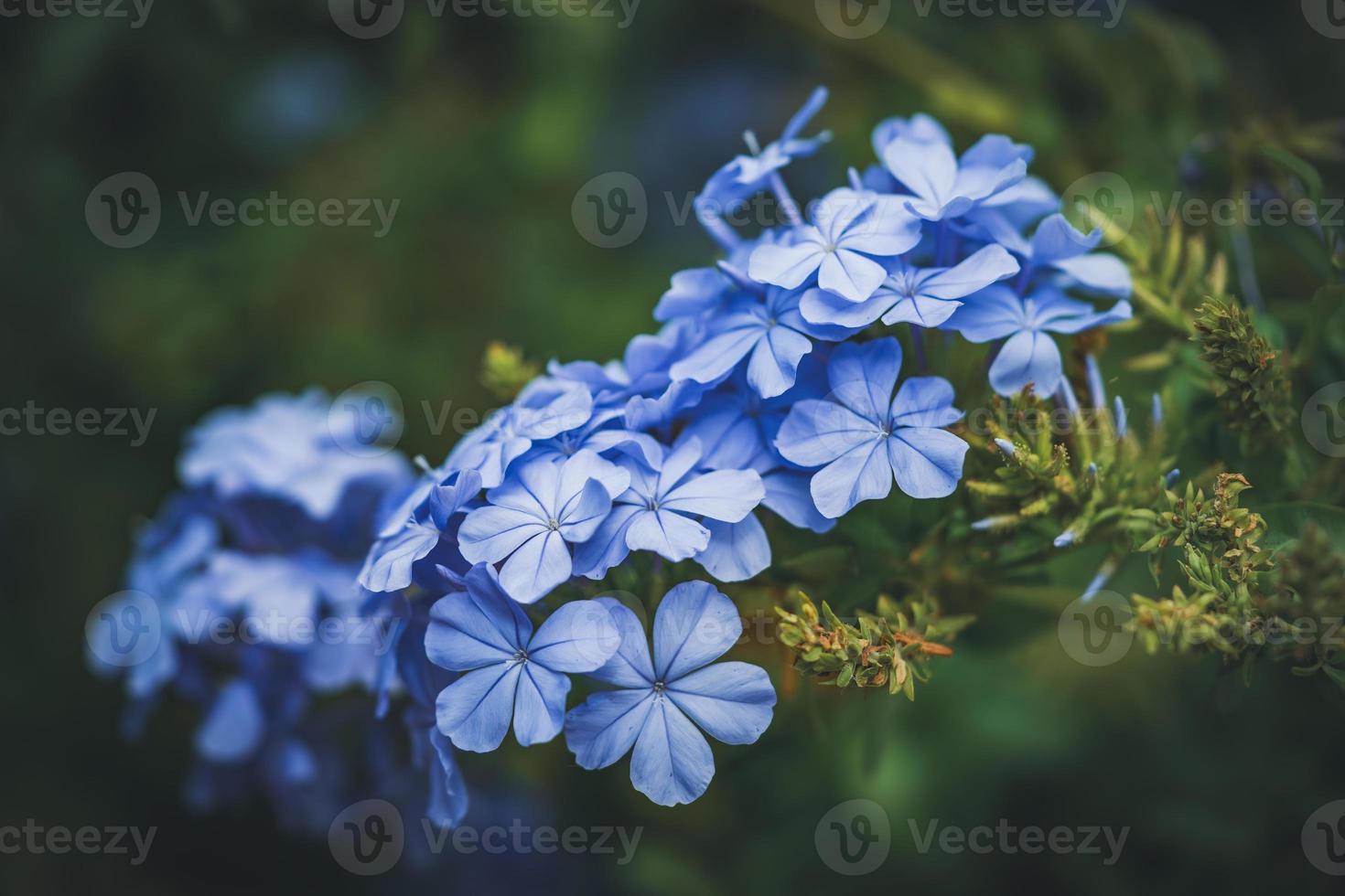 Flores azules de Cape leadwort también conocido como plumbago azul foto