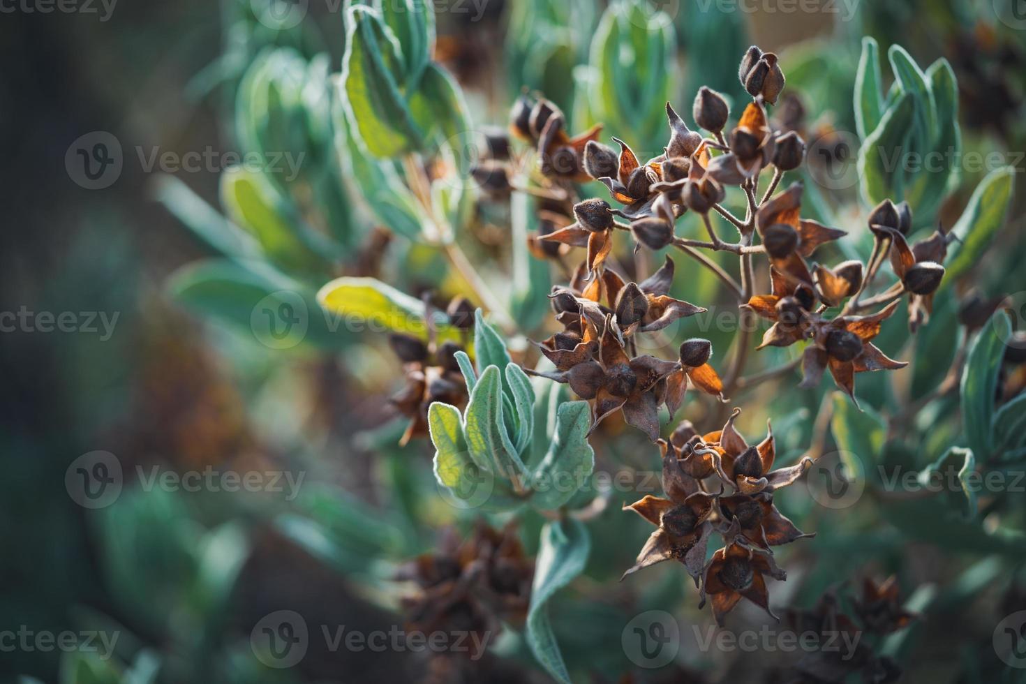 frutos y hojas perennes de un arbusto de rosa de roca foto