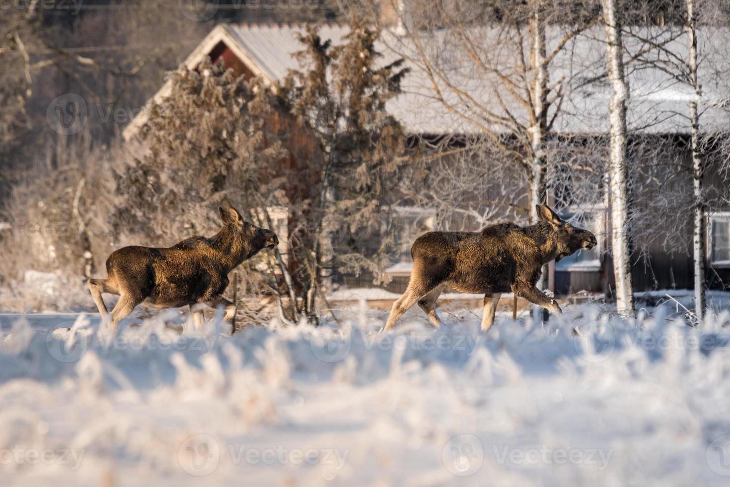 Terneros de alces cruzando un campo cubierto de nieve foto
