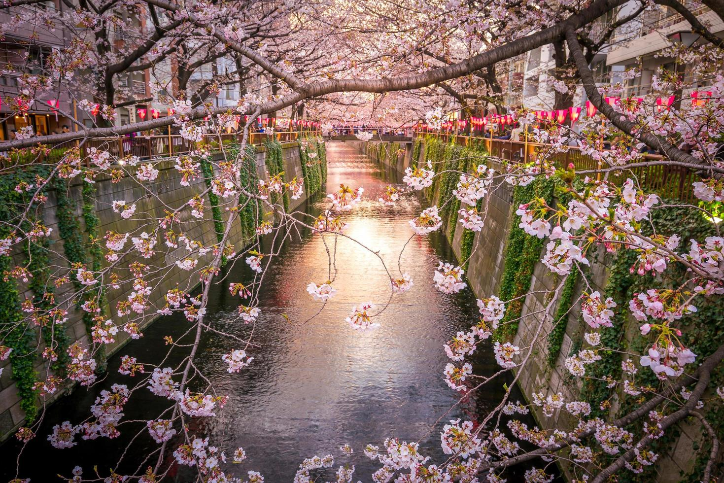 Cherry blossom at Meguro Canal in Tokyo, Japan photo