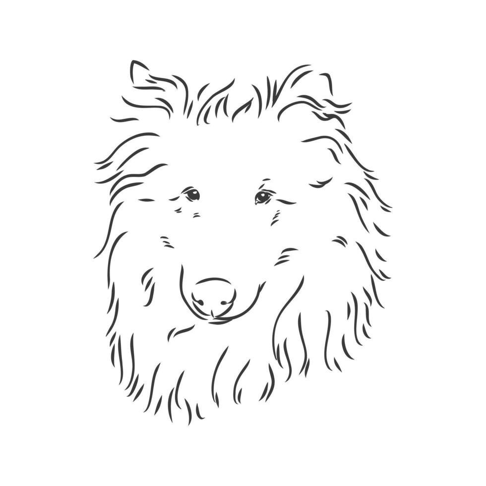 Dog Rough Collie isolated on White background. Vector illustration. collie vector sketch illustration on white background