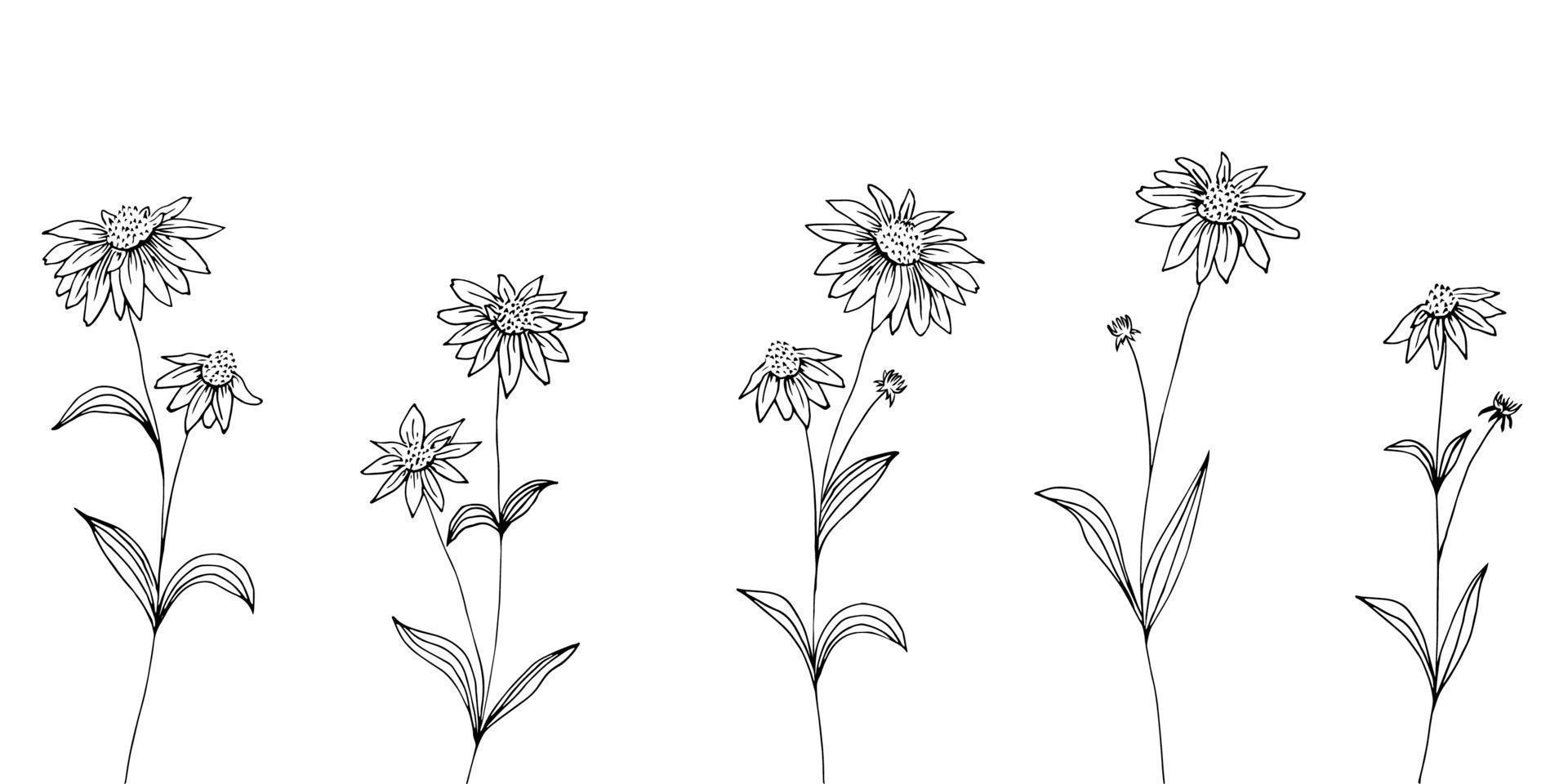 dibujado a mano conjunto de flores de equinácea. flores y hojas. planta medicinal, ingrediente de té de hierbas. vector