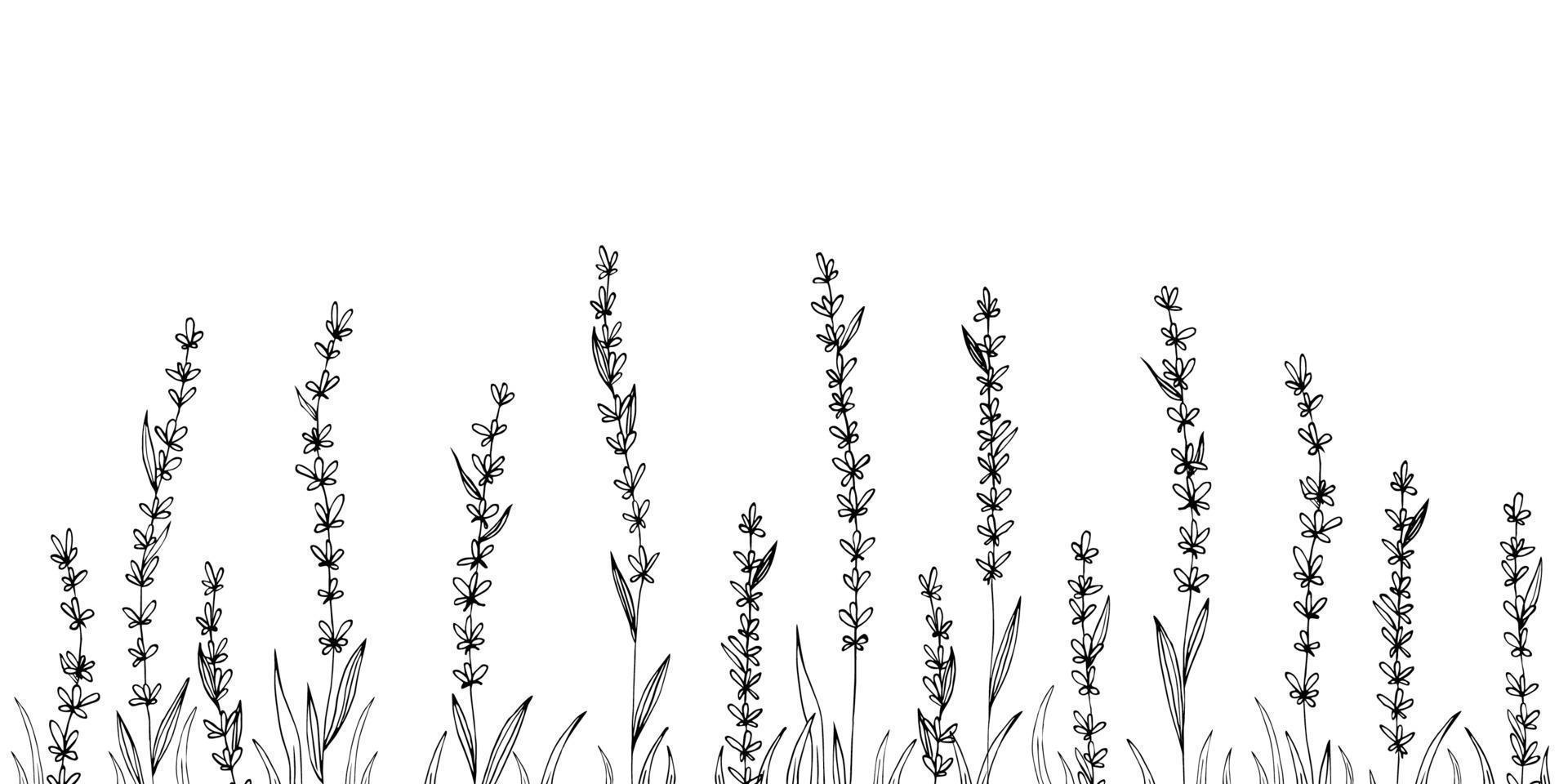 vector lavanda dibujado a mano illustration.medical planta.
