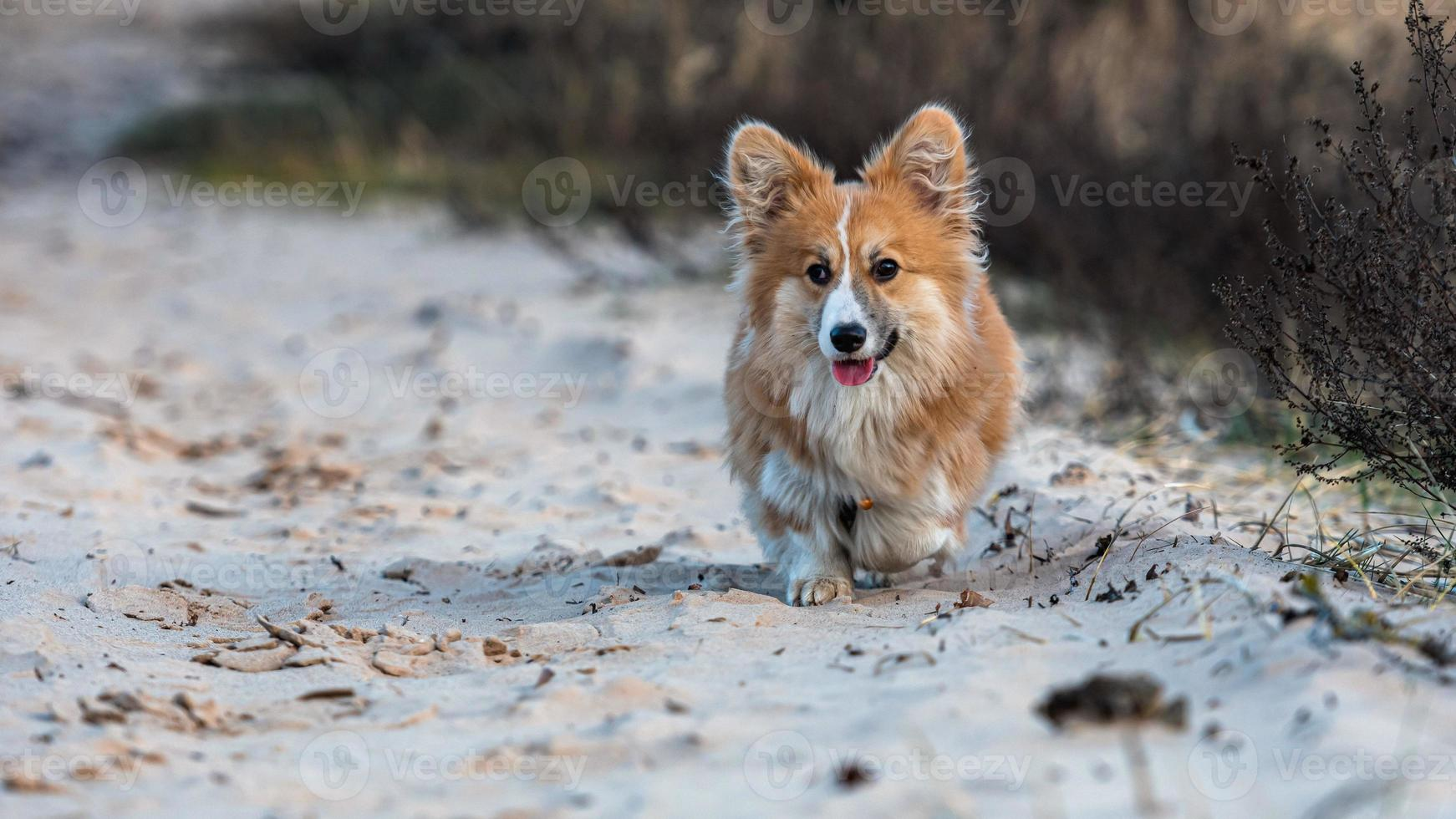 Welsh Corgi puppy runs around the beach and plays in the sand photo