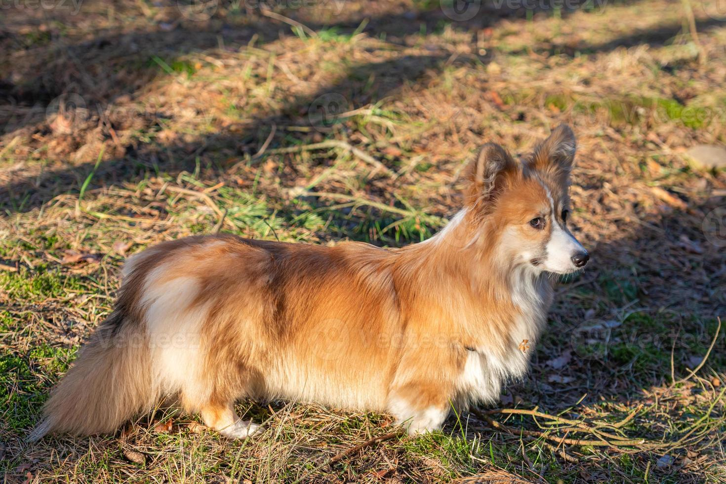 Welsh corgi puppy walks through the woods in the spring on a sunny day photo