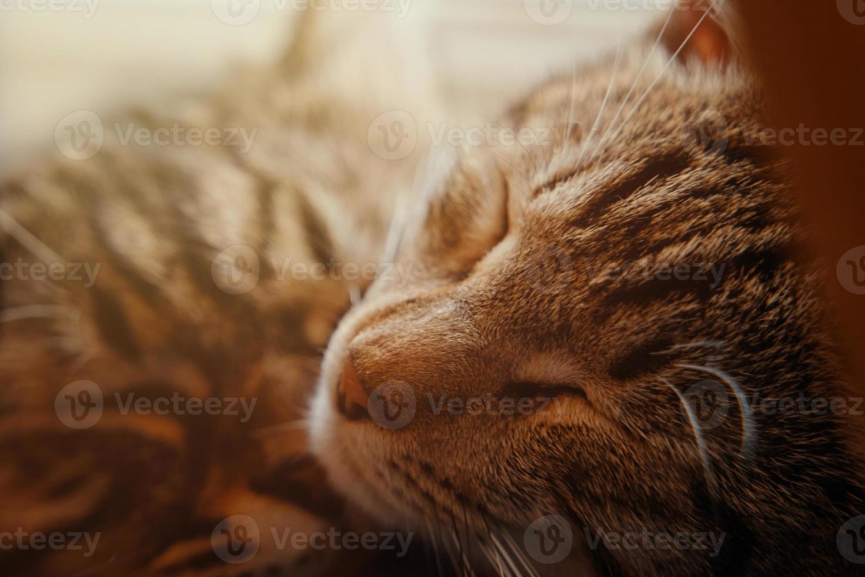 Cute sleeping tabby cat photo