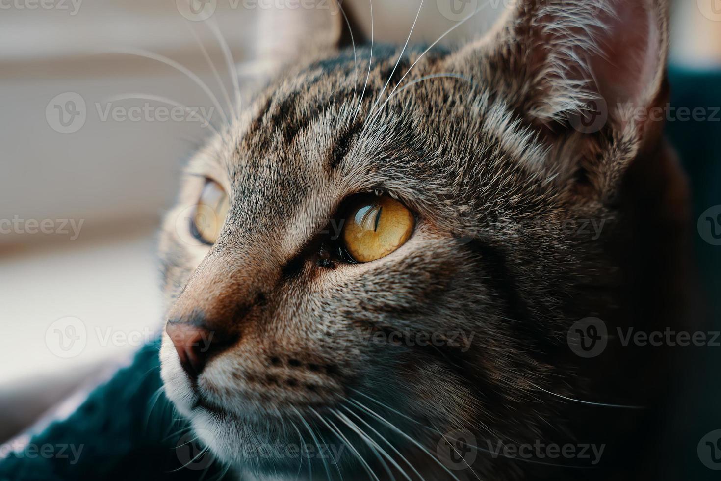 Tabby cat close-up photo