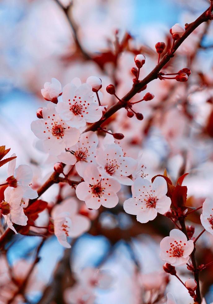 hermosa flor de cerezo en primavera foto