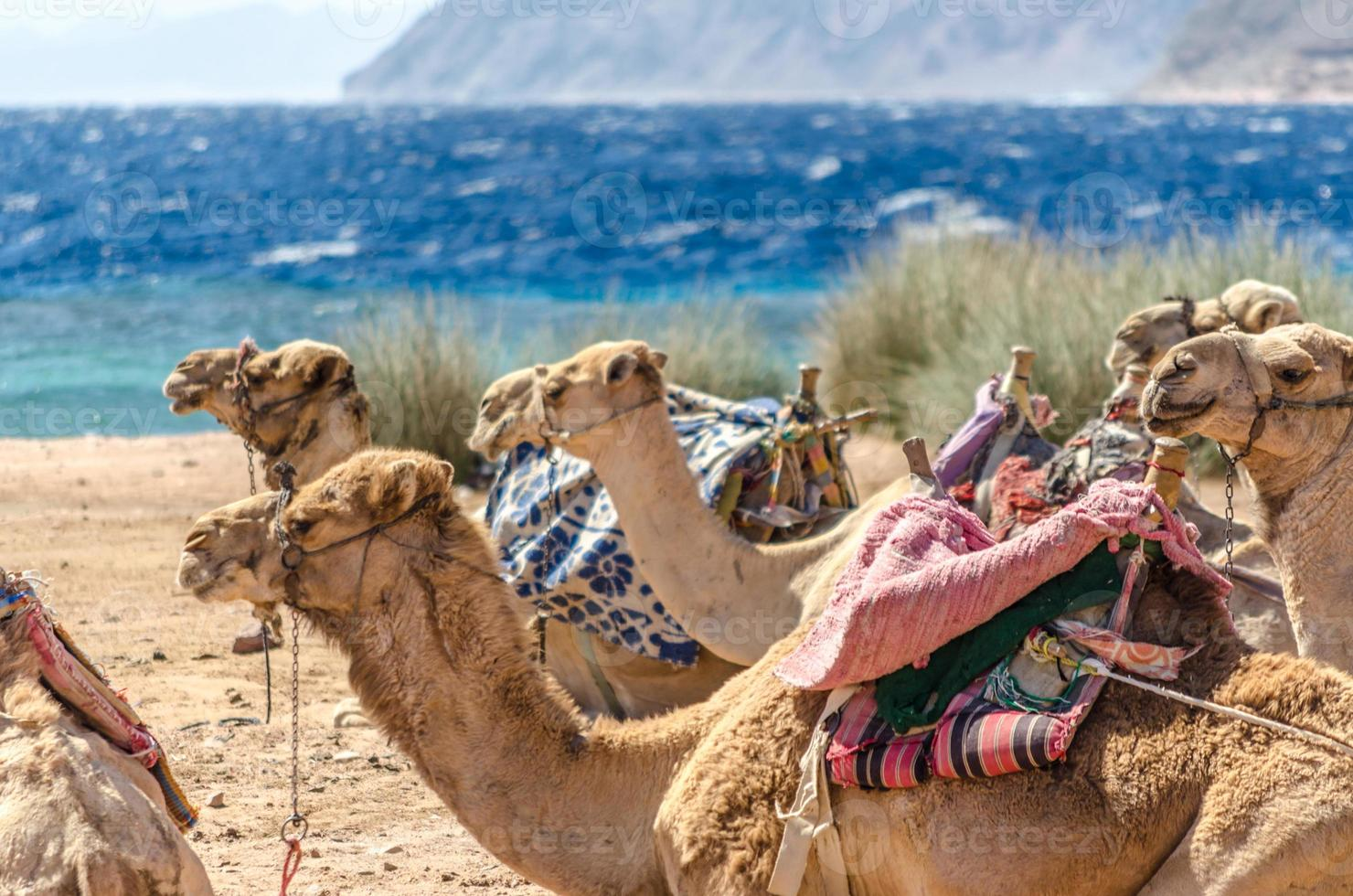 Group of camels near the sea photo