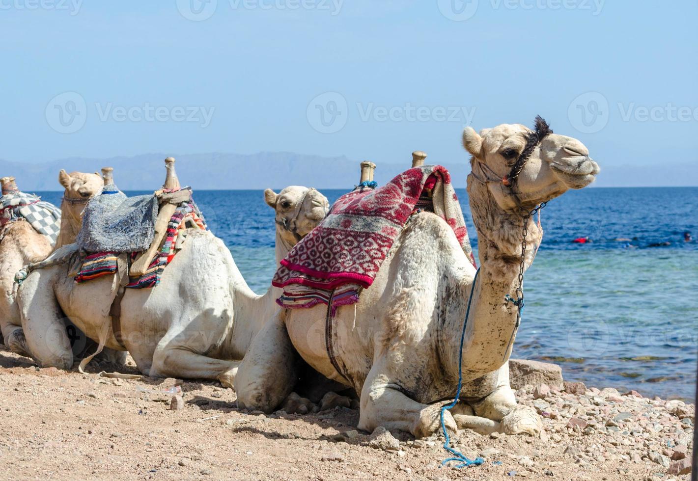 camellos por el océano foto