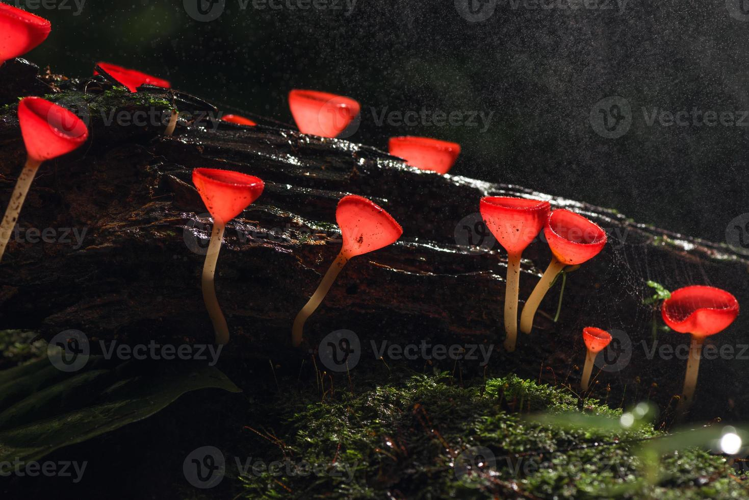 Champagne red mushrooms growing on a log photo