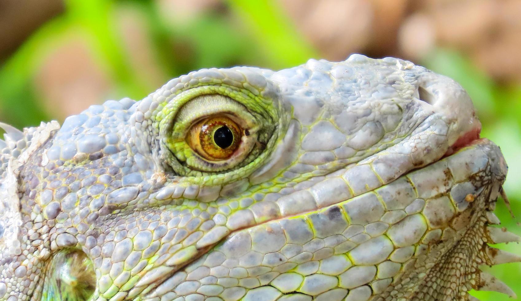 primer plano de los ojos de una iguana foto