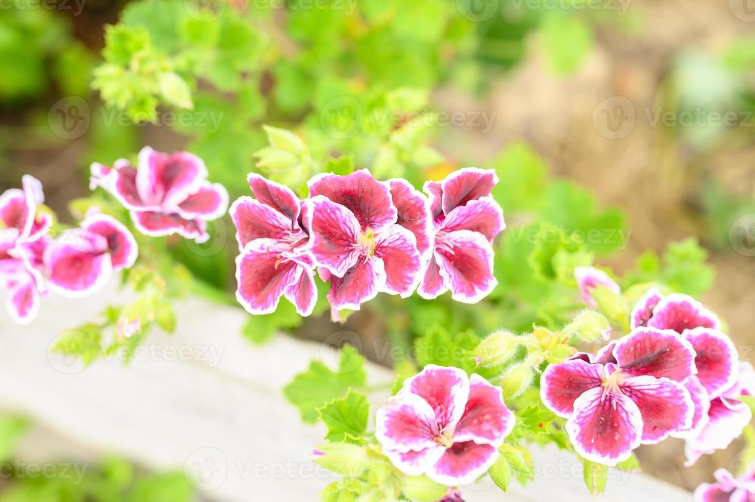Pink pelargonium flowers in full bloom in the garden photo