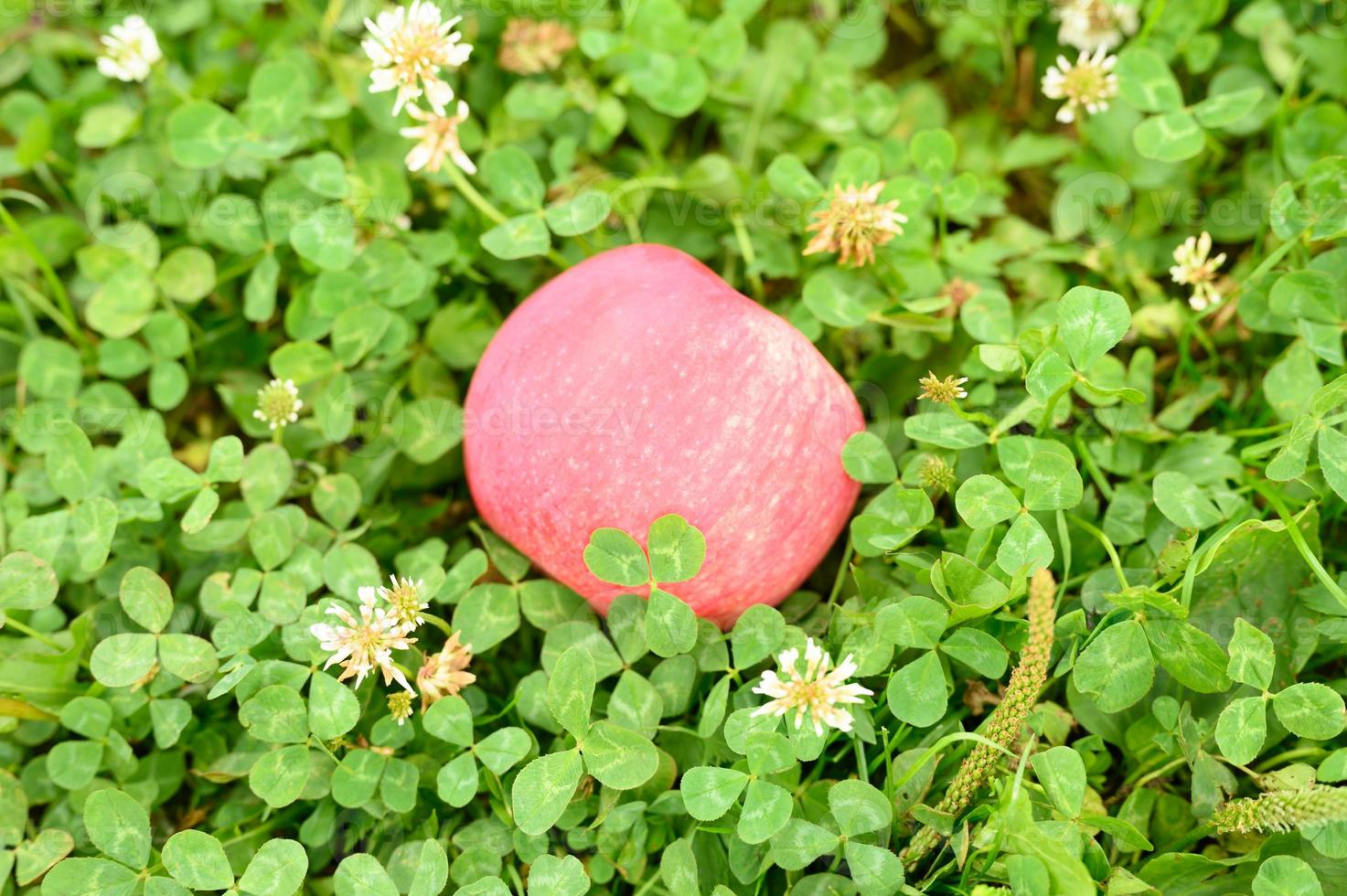Red ripe apple with a natural white coating on the green grass photo