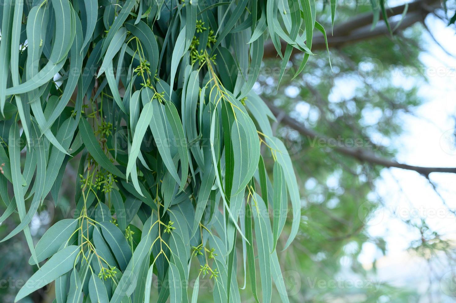 árbol de eucalipto en la naturaleza de fondo al aire libre foto