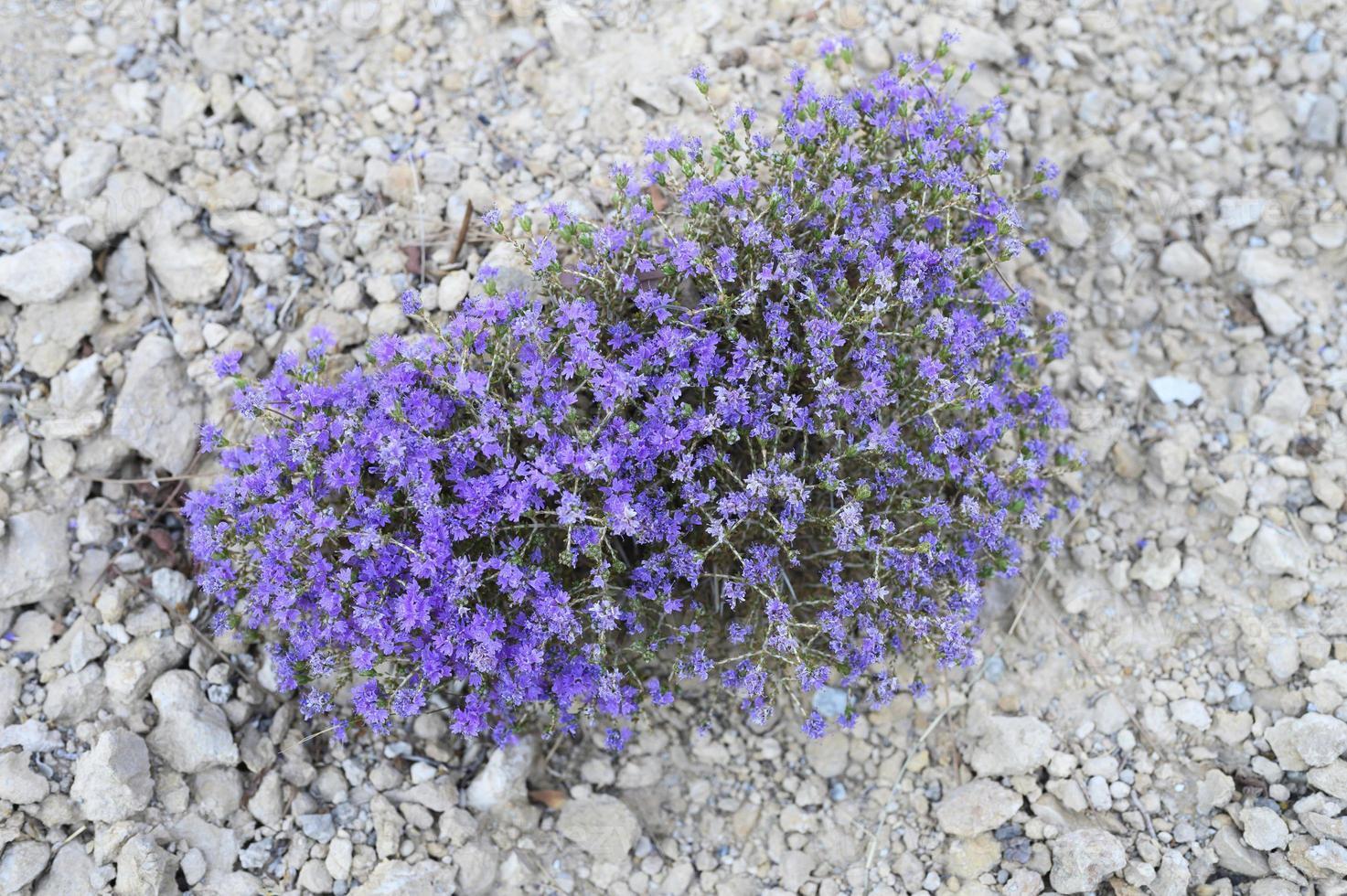 Mountain Greek wild thyme Bush blooming purple flowers among the stones photo