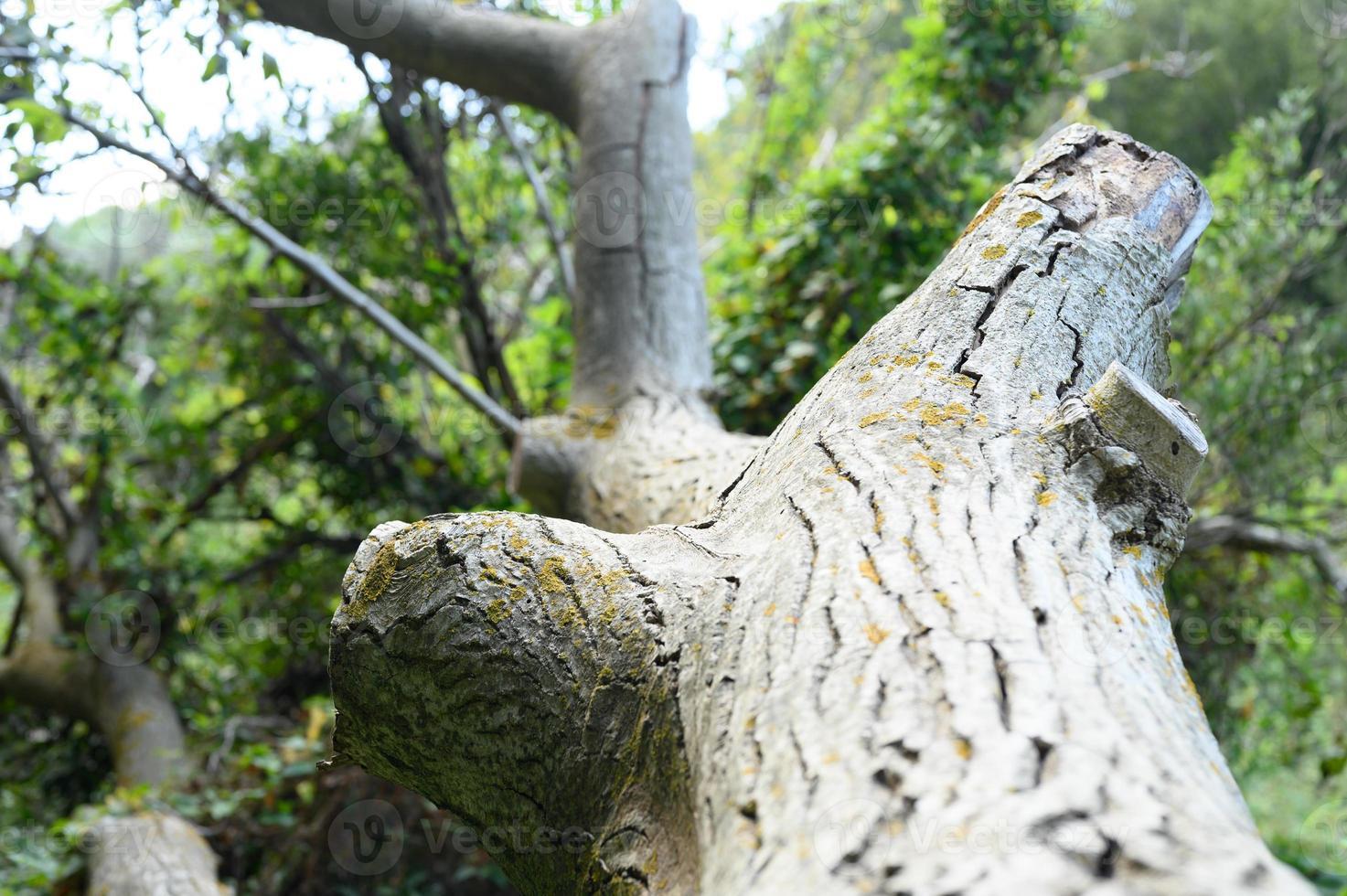 el tronco de un viejo árbol caído en el bosque foto