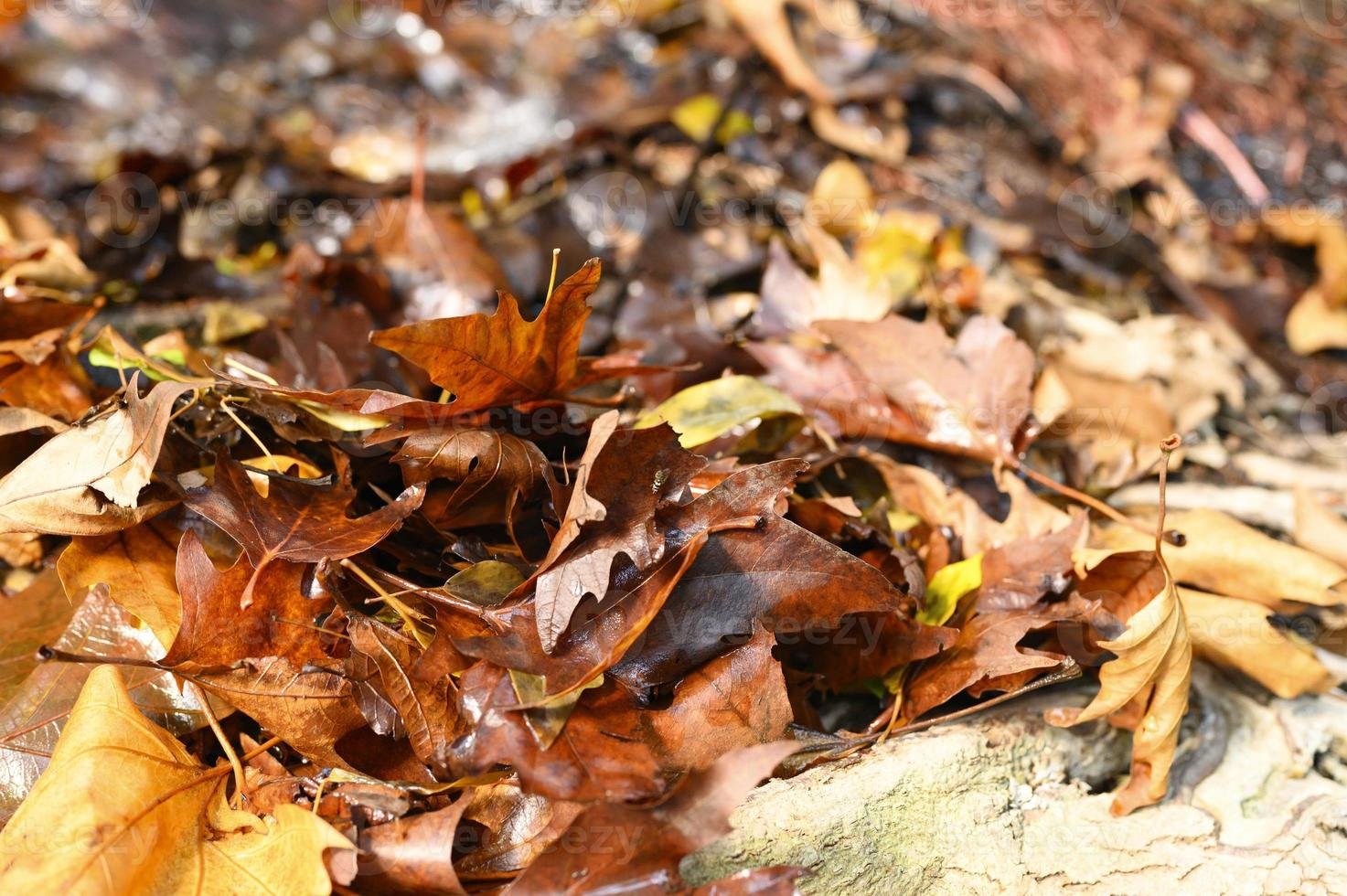Fallen autumn maple leaves photo