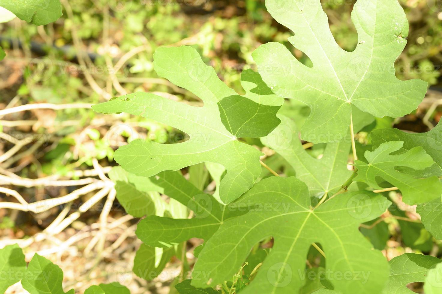 Hojas de higuera silvestres verdes en la selva tropical con rayos de sol foto
