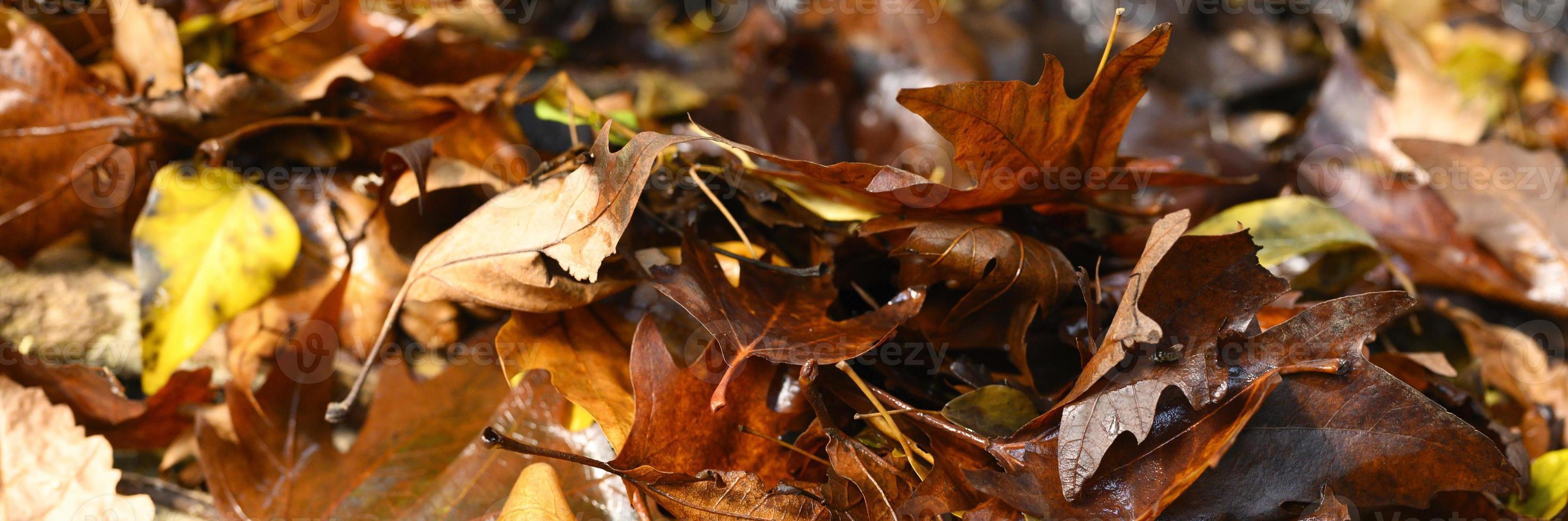 hojas de arce de otoño caídas foto