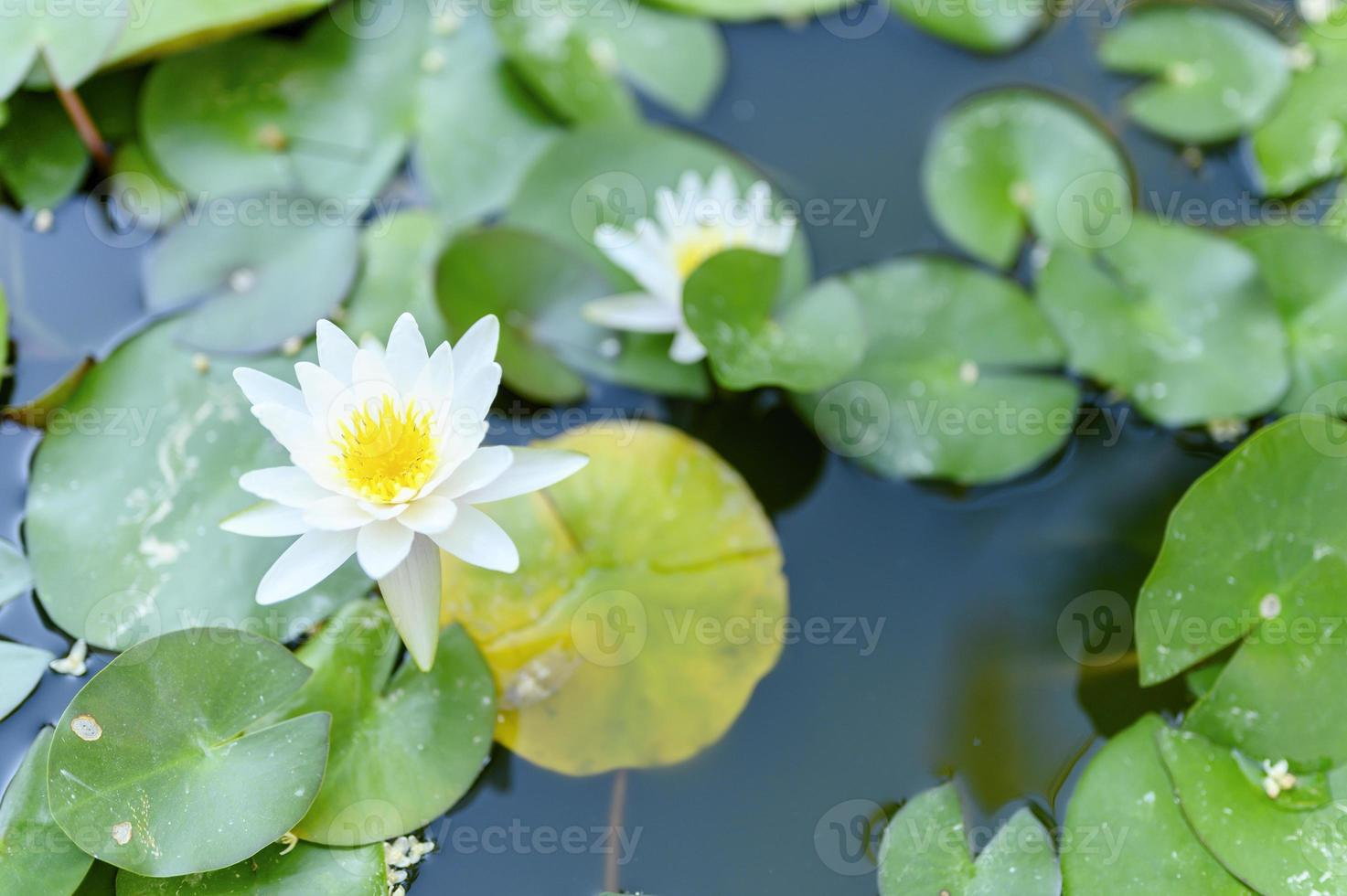 A beautiful white lily blooms among the waterlilies in the pond photo