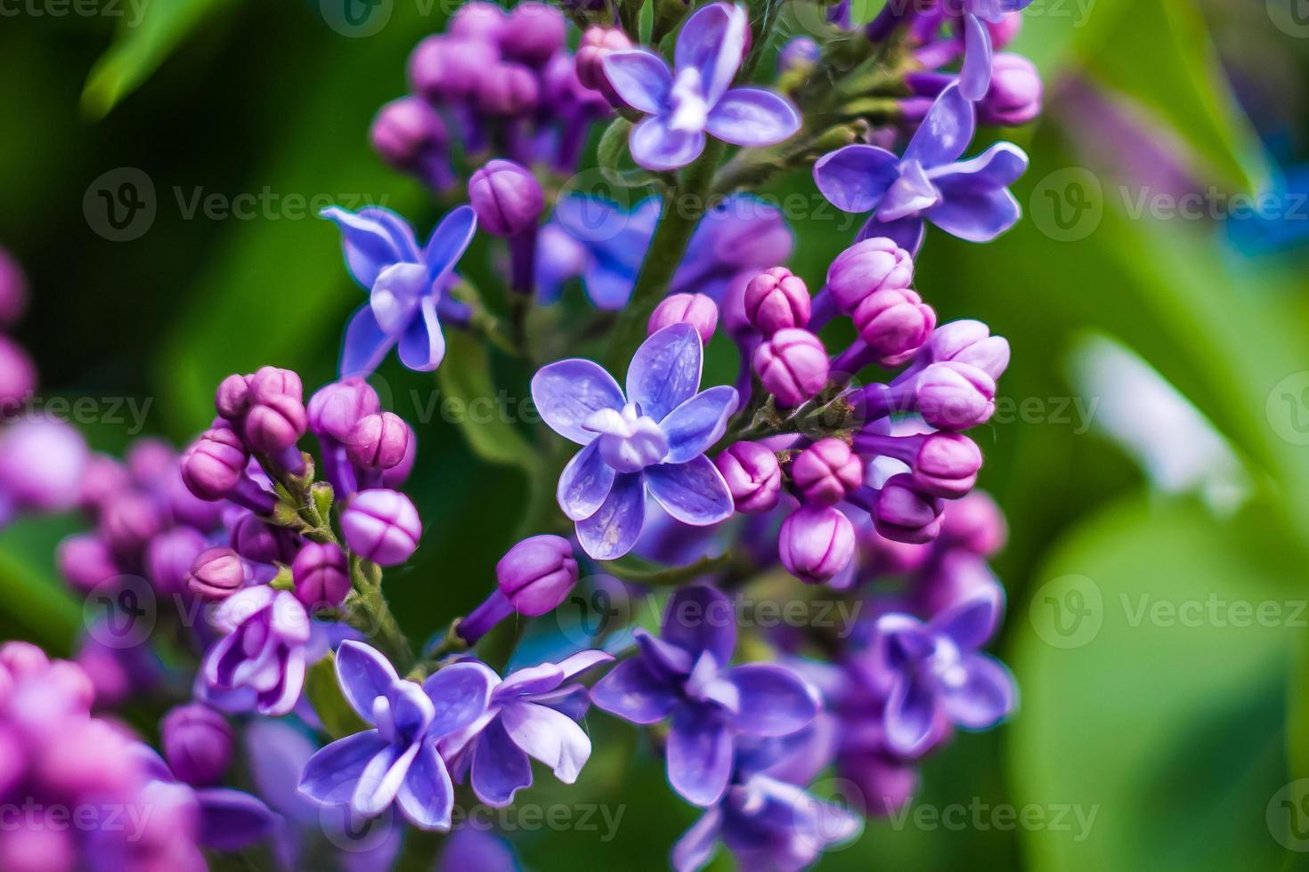 hermosas flores moradas en primavera foto