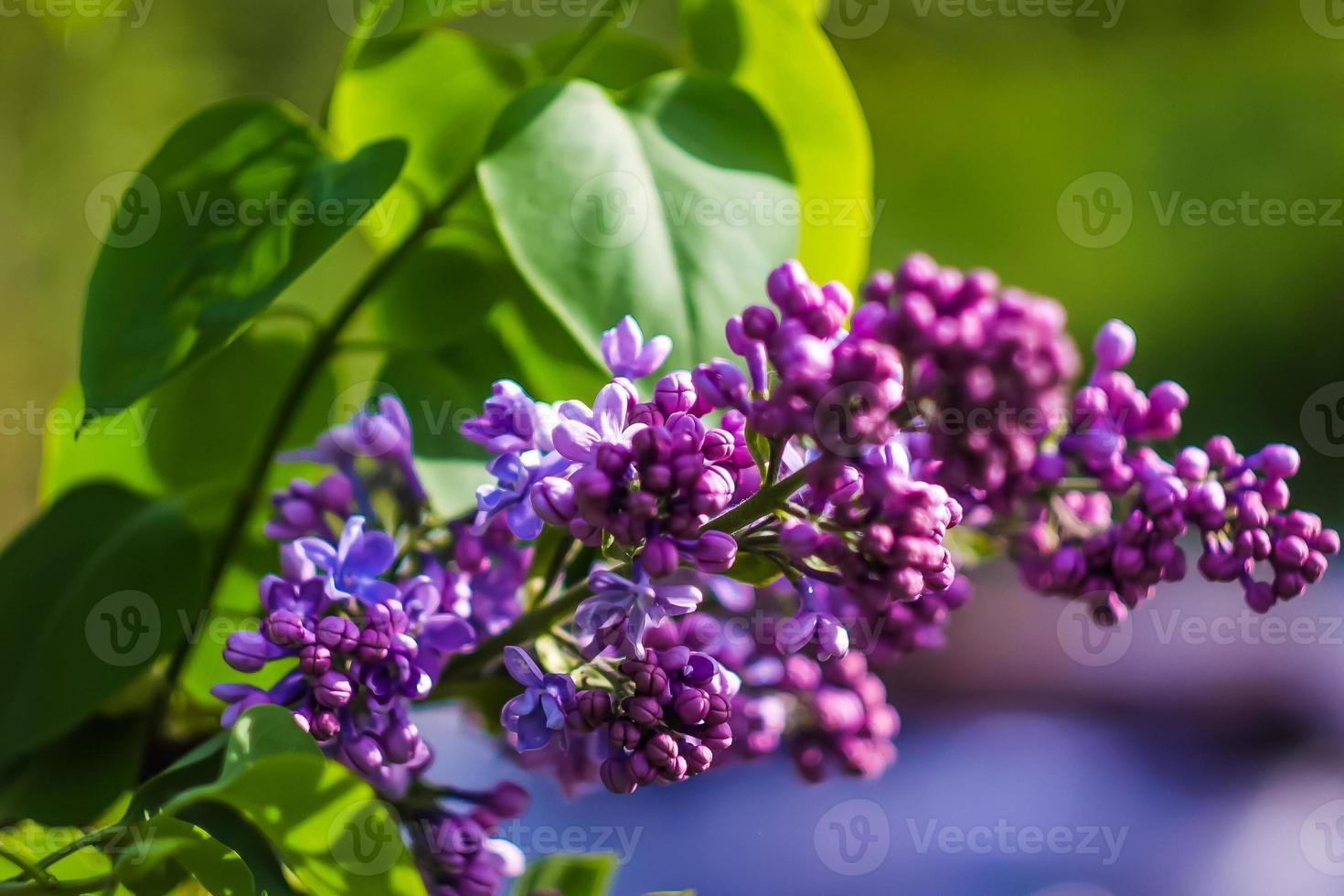 hermosa flor morada en el jardín foto