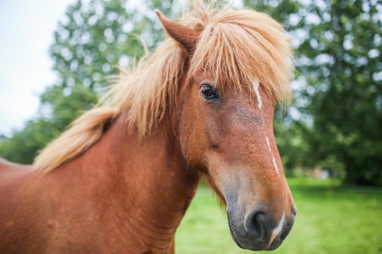 Portrait of an Icelandic horse photo