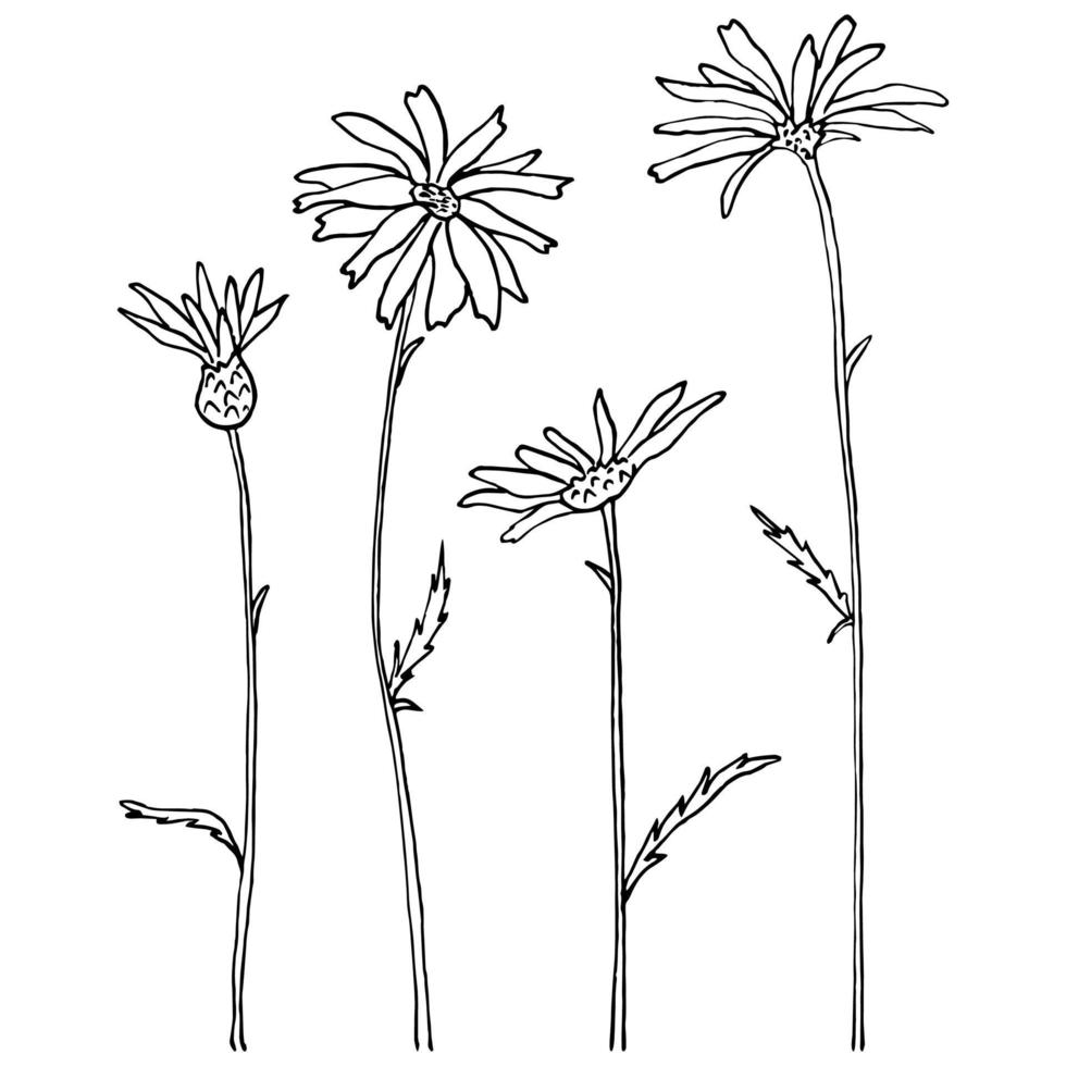 bosquejo con margaritas de campo sobre un fondo blanco. vector